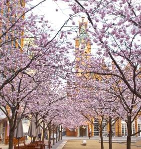 Cherry Blossom at Brindley Place Birmingham